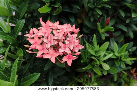Pink flowers in the summer in the midst of greenery
