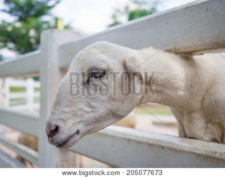 Closeup of white dairy breed goat in farm while looking for something. Farm concept with white goat.