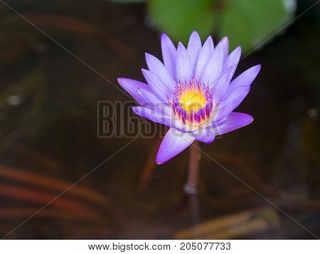 Closeup of beautiful purple lotus in nature.