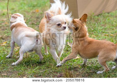 Two small dogs are introduced sniffing each other. Chihuahua dog Close-up. Space under the text. 2018 year of the dog in the eastern calendar Concept: parodist dogs, dog friend of man, true friends, rescuers.