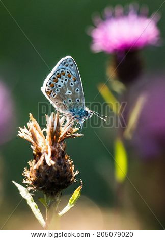 A Common Blue Butterfly resting on a thistle in a nature reserve in Cornwall UK