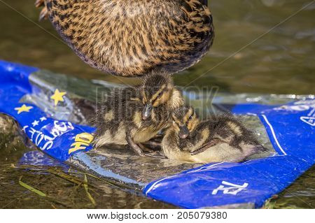 Mallard, Ducklings, On A Rubbish Bag In A Stream With Their Mum