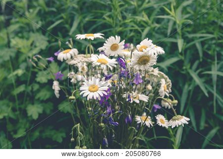 A bouquet of chamomile standing on a background of nature