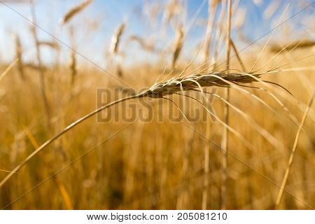 Yellow ears of wheat in a field in nature .