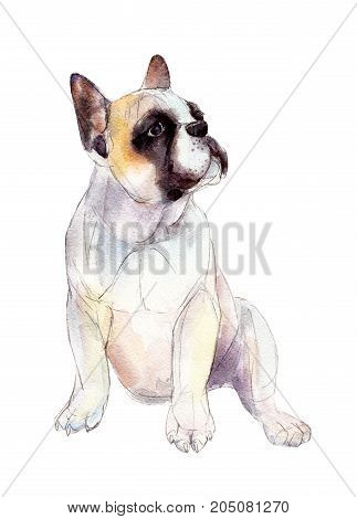 French bulldog isolated on white background watercolor illustration.
