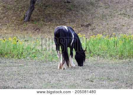 Horses graze in the pasture . horse farm. Walking horses
