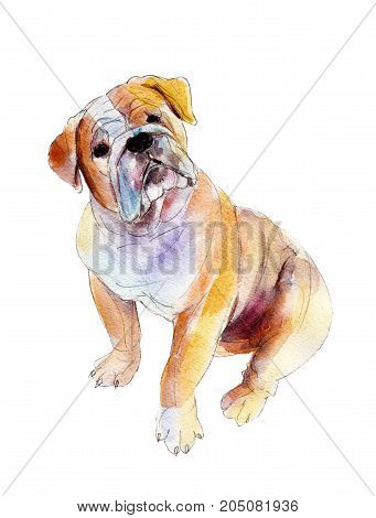 English bulldog isolated on white background watercolor illustration.