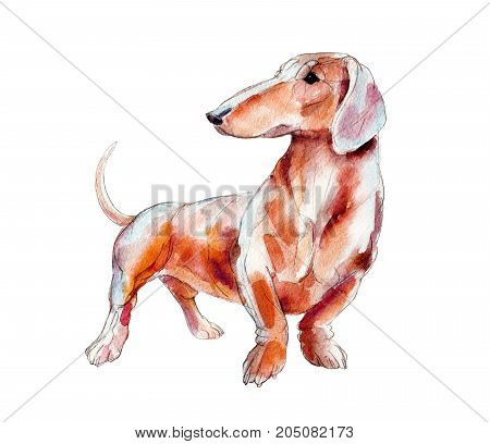 Red dachshund isolated on white background watercolor illustration.
