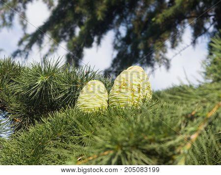 Pine cones in needles on a Cedar of Lebanon or Cedrus Lebani close-up selective focus shallow DOF.