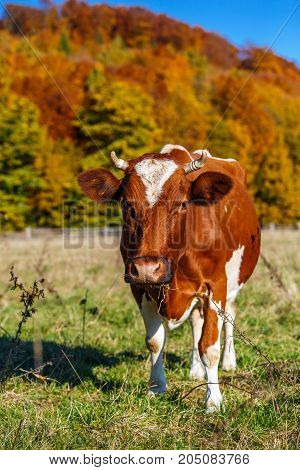 Autumn landscape cow graze. Cow grazing in meadow in autumn. Cow grazes near autumn forest. Portrait of a cow