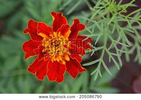 red marigolds (Tagetes) with yellow stamens .