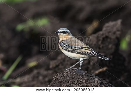 A Wheatear (Oenanthe oenanthe) sits on the earth