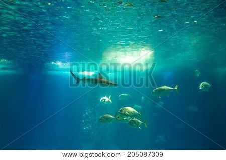 Underwater blue background. Group of various species of fishes and shark in large sea water aquarium. Tourism, holidays and leisure concept.Lisbon Oceanarium, Portugal.