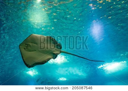Sting Ray or Myliobatis aquila, swimming under blue ocean like flying in sky and facing to camera. Eagle Ray is a cartilage fish common in Mediterranean and Adriatic Sea. Lisbon Oceanarium, Portugal.