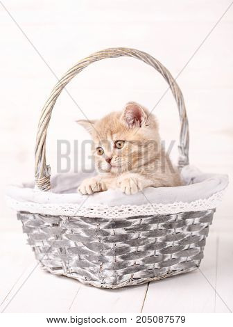 cat, pet and animal concept - A sweet Scottish cream color kitty sits in a wicker basket. Portrait of a cat. Cat at home