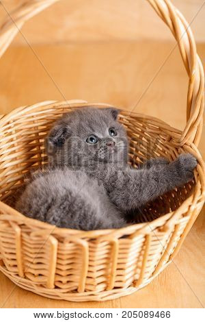 The gray color Scottish fold cat in a wicker basket. A playful kitten. pedigreed cat