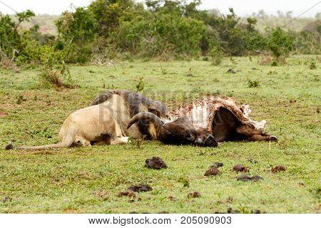 Lion Lying Next To The Buffalo