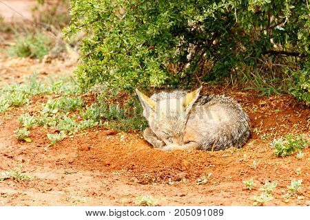 Black-backed Jackal  Sleeping On The Ground