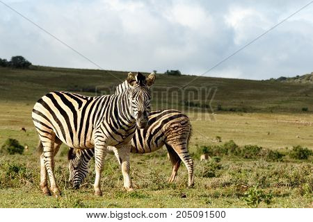 Zebra Standing And Staring At You