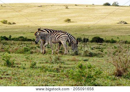 Baby Zebra Standing Close To His Mom