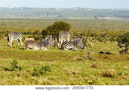 Zebras Laying, While The Other Is Standing And Eating Grass