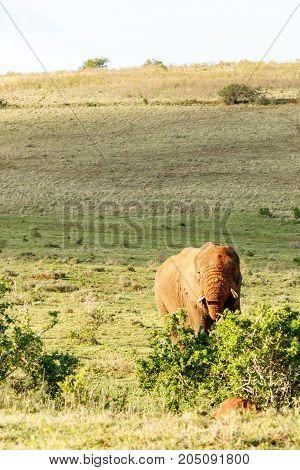 Elephant Eating On A Bush
