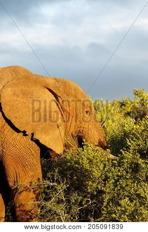 Elephant With His Head In The Bushes