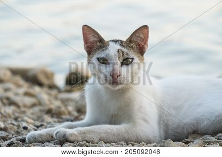 A white cat with brown ears lies on a pebble by the lake and looks at the frame