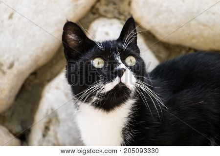 Noble black and white cat with white mustache