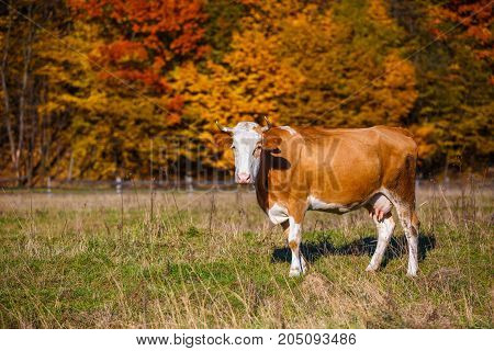 Autumn landscape cow graze. Cow grazing in meadow in autumn. Cow grazes near autumn forest, nature background with sunshine, copy space