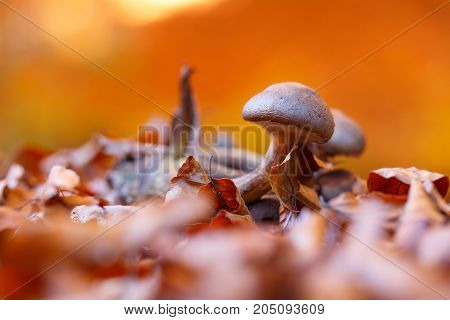 Mushroom in yellow, dry autumn leaves, closeup, nacro shot