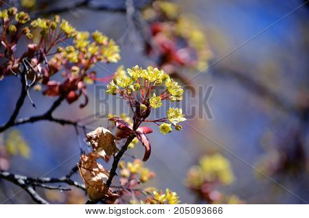 Maple tree blossoms in spring. Close-up picture of maple flower