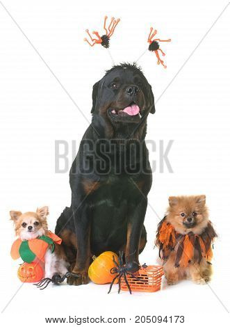 dogs and halloween in front of white background