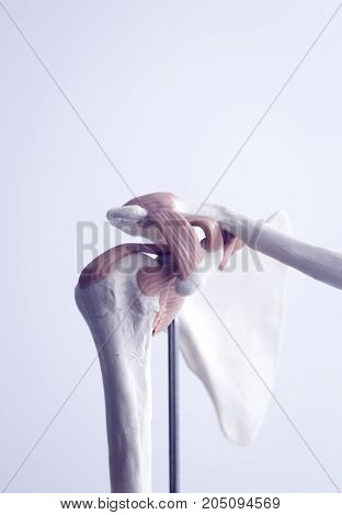 Human Shoulder Joint Model