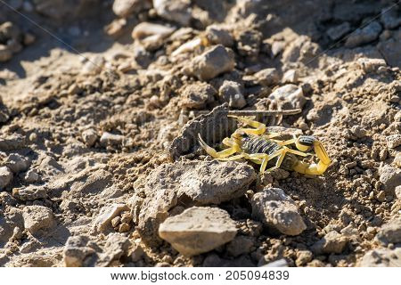 Israeli yellow scorpion known as the deathstalker, hid behind a stone (Leiurus quinquestriatus)