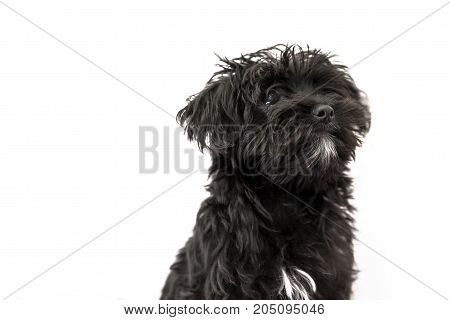 Portrait of cute black dog Morkie or Yorktese or Malkie, puppy the age of 4 month, isolated on white background. Breed from Maltese and Yorkshire Terrier dogs. Copy space. Studio horizontal shot.