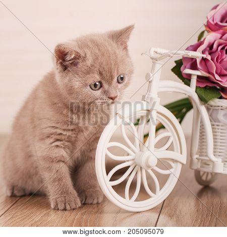 Cat. Scottish Cat Scottish Fold Kitten. Cat at home near a decorative pot in the form of a bicycle