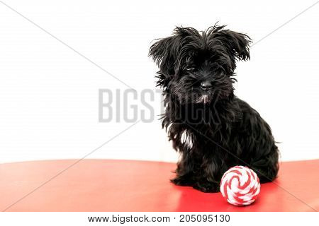 A little black dog Morkie or Yorktese or Malkie, puppy the age of 4 months, on red sofa play with ball. Breed from Maltese and Yorkshire Terrier dogs. Isolated on white background with copy space.