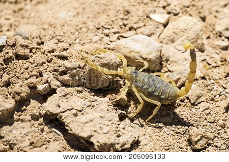 Scorpion deathstalker from the Negev desert took a defensive stance (Leiurus quinquestriatus)