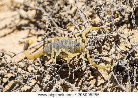 Scorpion deathstalker from the Negev desert took refuge (Leiurus quinquestriatus)