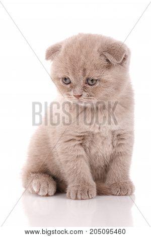 Scottish Fold small cute kitten on white