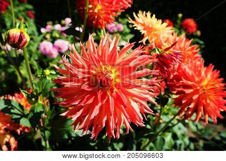 Beautiful dahlia flower in a botanical garden in summer