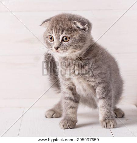 Gray Scottish kitten portrait. Cat on a wooden background. Scottish Fold Cat.