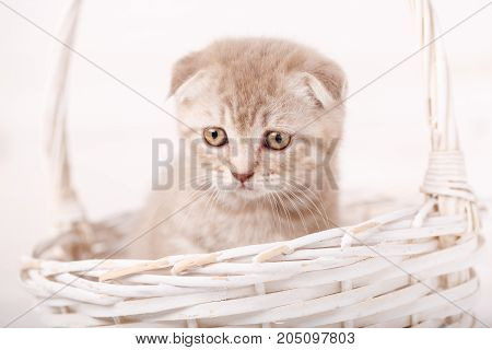 Grieved Cream-colored Scottish kitten looks from wicker basket. Portrait of a cat