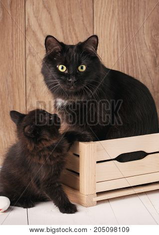 Two black Kurilian Bobtail cats. Mom with her kitten. Mum cat sits in a wooden box, a kitty near her. The black cat looks into the camera