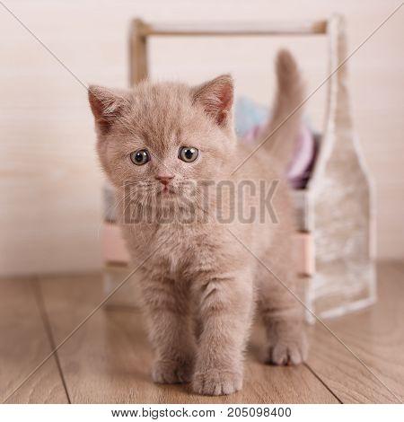 Cat, thoroughbred cat, pet - Cyamine color Scottish Cat