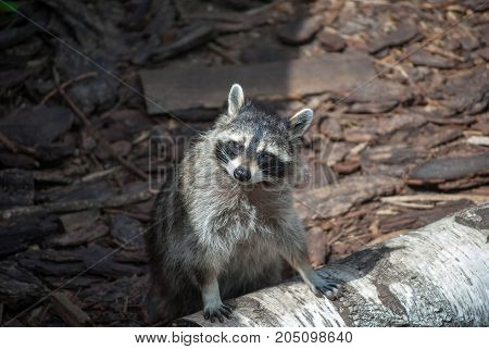 Raccoon leans on a log and watching a side