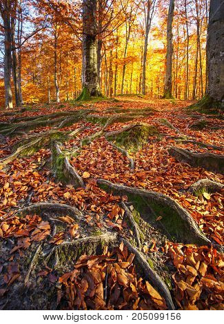 Landscape with the autumn forest. Strong roots of old trees. Autumn leaves are dry. beautiful autumn tree.