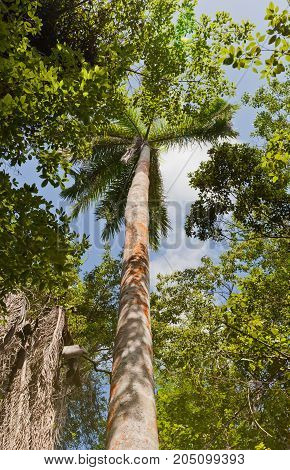 Royal Palm tree (Roystonea regia) on Mastic Trail. Mastic Trail is a forest walking path in Mastic Reserve of Grand Cayman Cayman Islands