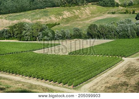 Country landscape between Imola (Bologna) and Riolo Terme (Ravenna Emilia Romagna) at summer. Vineyards